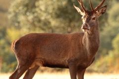 riojanatura-ciervocomun