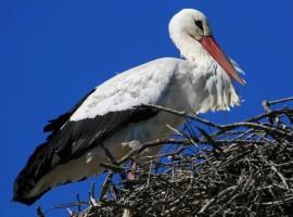 nido-ciguena